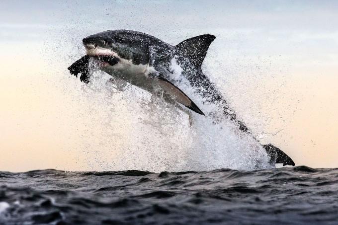 белая акула фото 3 (680x453, 258Kb)