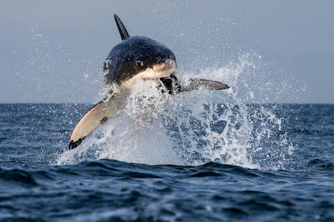 белая акула фото 5 (680x453, 303Kb)