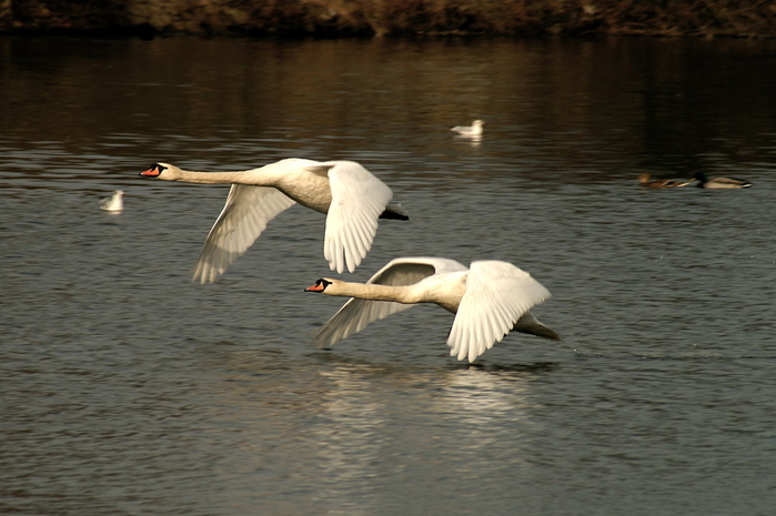 Cygnus_olor_-Nottingham,_England_-two_flying_over_water-8 (700x465, 143Kb)