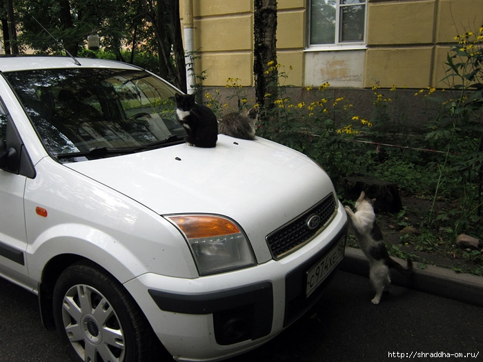 Питерские котики (3) (700x525, 282Kb)