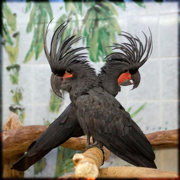 Чёрный (пальмовый) какаду самые красивые попугаи фото.