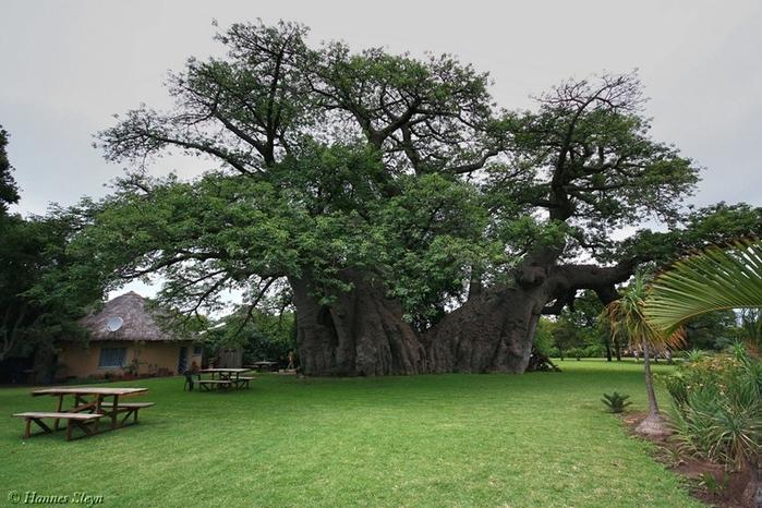 sunland_baobab_01 (700x466, 278Kb)