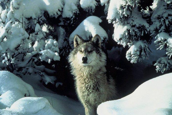 wolf_snow_FWS_big (700x467, 70Kb)