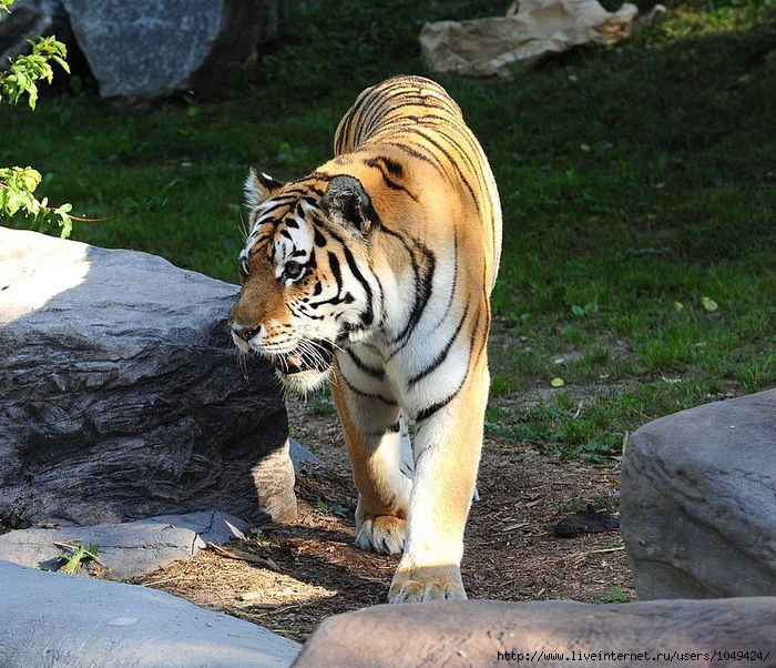 1049424_dn_den_tigra (700x602, 290Kb)