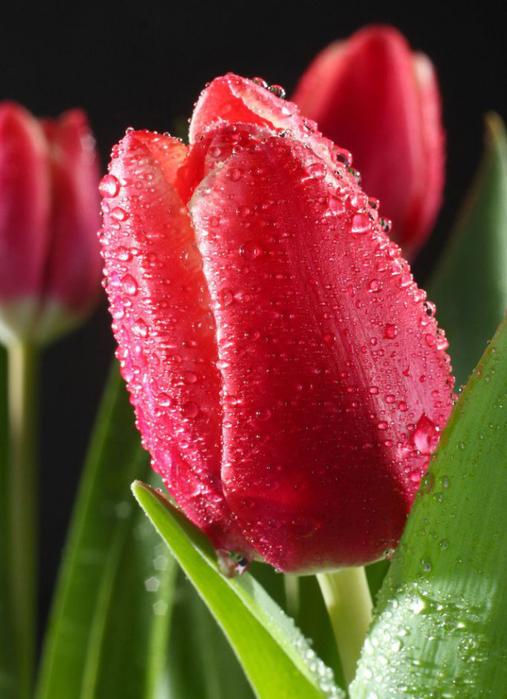 тюльпан 2а (507x700, 362Kb)