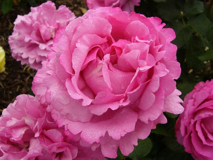 роза 2а (700x525, 424Kb)