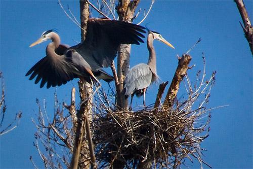 heron_nest (500x333, 67Kb)