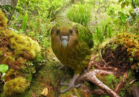 Какапо, так же известный как совиный попугай/4406465_1 (450x315, 58Kb)