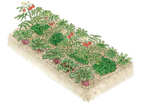 •мангольд, морковь, капуста и