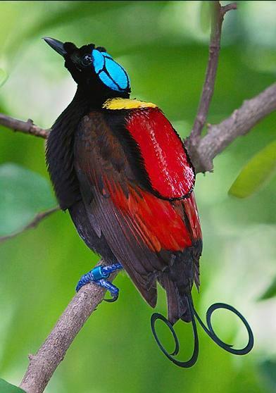 Птица цвета ультрамарин минусовка