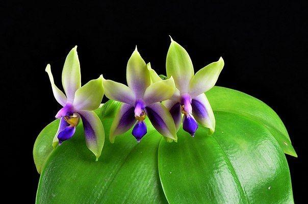 Великолепные и неповторимые орхидеи3 (604x400, 102Kb)