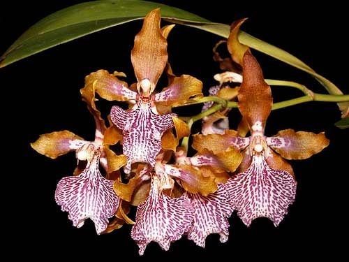Великолепные и неповторимые орхидеи4 (500x375, 111Kb)