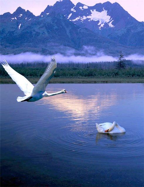 белый лебедь ты на небе а я на земле видео