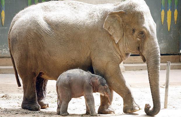 baby-elephant (620x400, 57Kb)