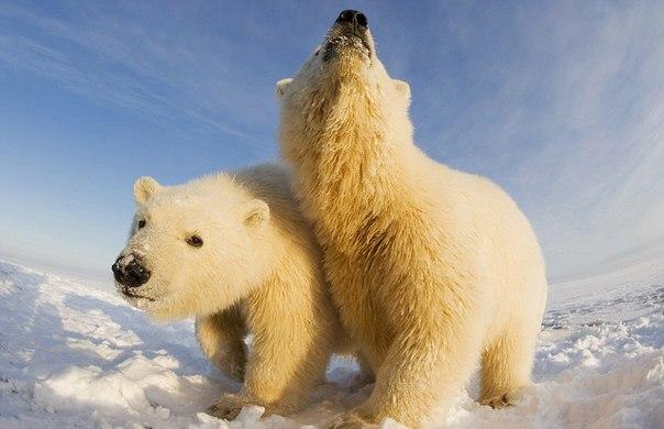 белые медведи 1 (604x390, 166Kb)