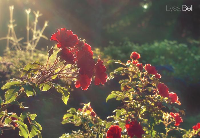 3303834_roses_1 (700x483, 343Kb)