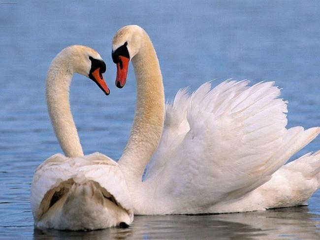 лебеди  два роз (500x388, 233Kb)
