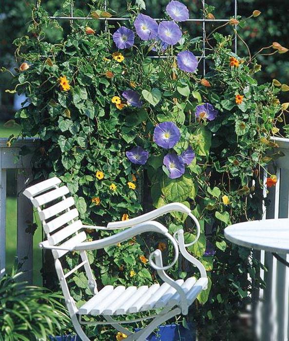 Из вьющихся однолетних цветов чаще всего разводятся виды ипомеи (Ipcmoea purpurea, Ipomoea rubrocoerulea и др.) и...
