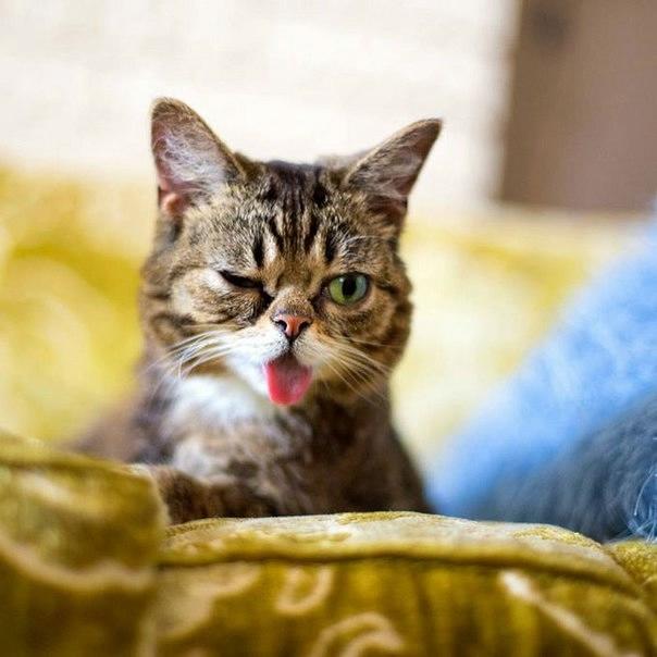 кошка Lil Bub фото (604x604, 116Kb)