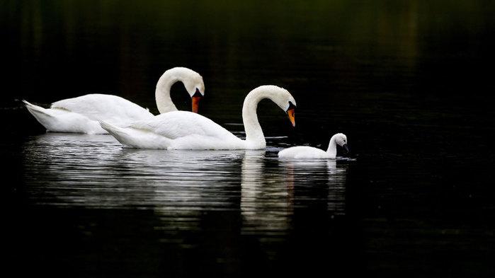 """Предпросмотр схемы вышивки  """"лебеди белые """". лебеди белые, природа, птицы, лебеди, семья, предпросмотр."""