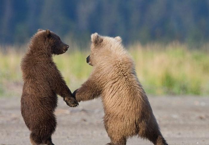 фото-National-Geographic-Медведи-мимими-701390 (700x486, 285Kb)