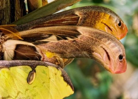 Окончания передних крыльяев похожи на головы змей. (480x343, 139Kb)