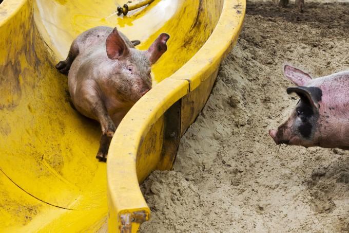свиньи катаются с горки (680x453, 346Kb)