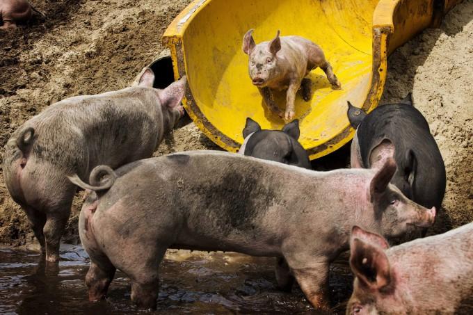 свиньи катаются с горки 2 (680x453, 363Kb)