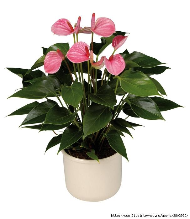 Домашние цветы в горшках картинки 7