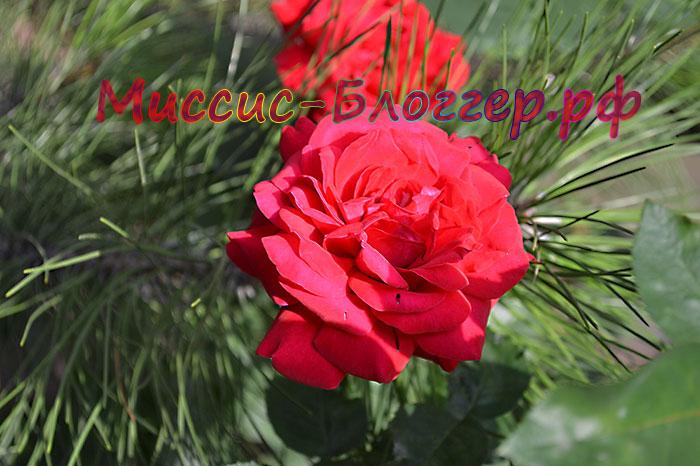 роза и сосна/4685888_rozaisosna (700x466, 90Kb)