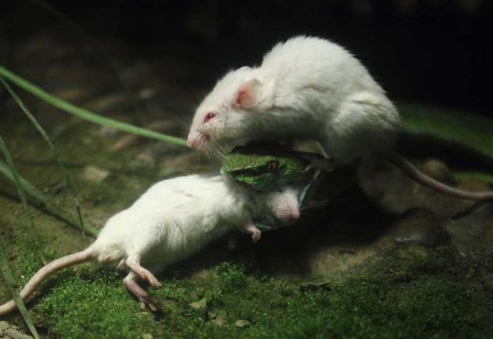 белая мышь и змея фото 1 (700x480, 201Kb)