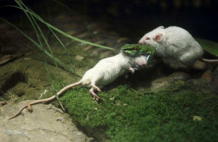 белая мышь и змея фото 3 (700x458, 271Kb)