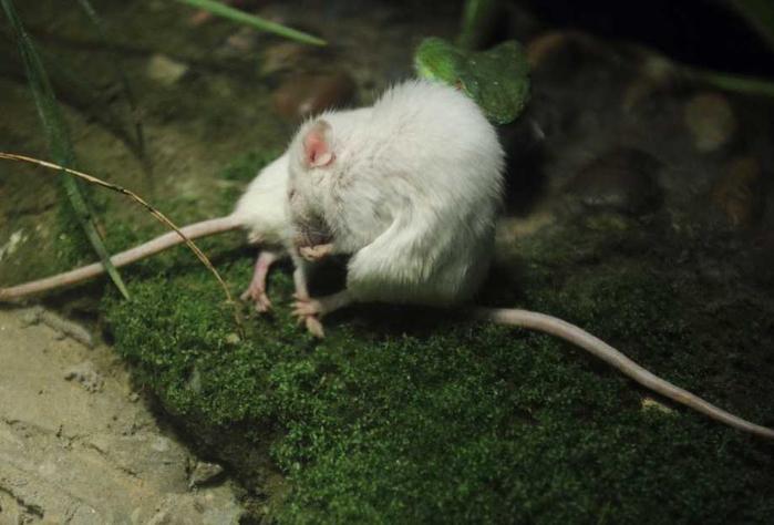 белая мышь и змея фото 5 (700x474, 239Kb)