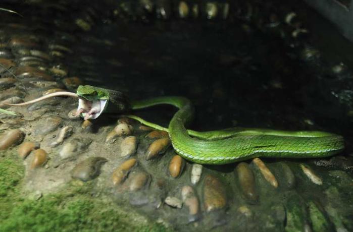 белая мышь и змея фото 7 (700x460, 227Kb)