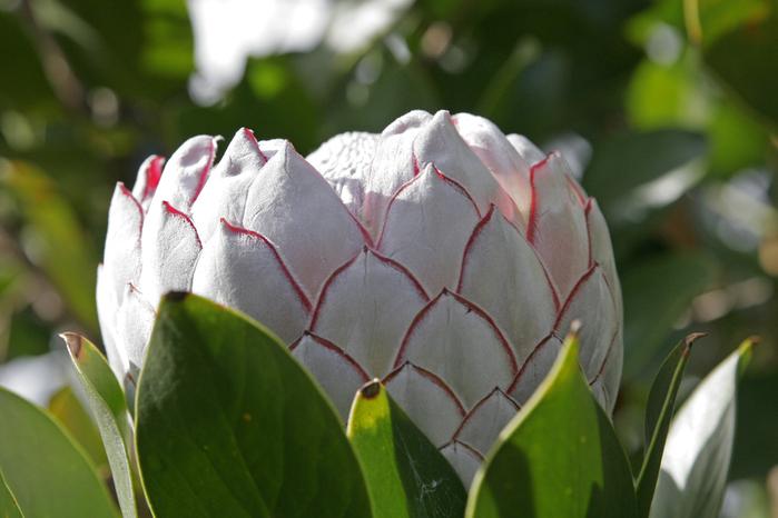 80567410_Protea_flower (699x466, 393Kb)