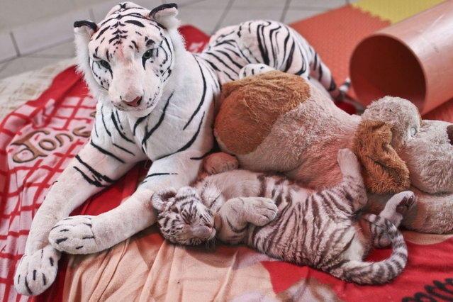 белый бенгальский тигренок 7 (639x426, 189Kb)