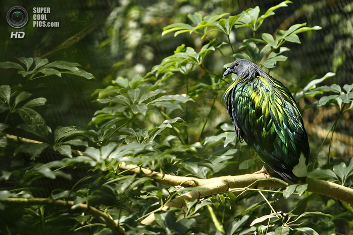 гривастый голубь фото 6 (700x466, 290Kb)