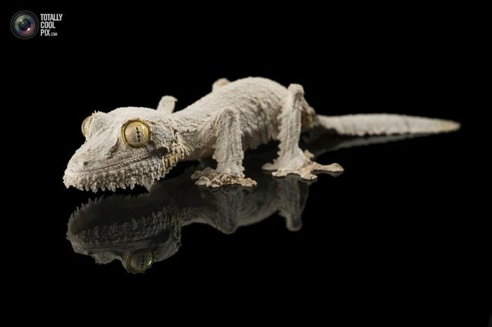 геккон сикора фото 1 (700x465, 77Kb)