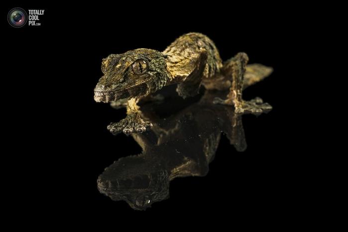 геккон сикора фото 2 (700x465, 77Kb)