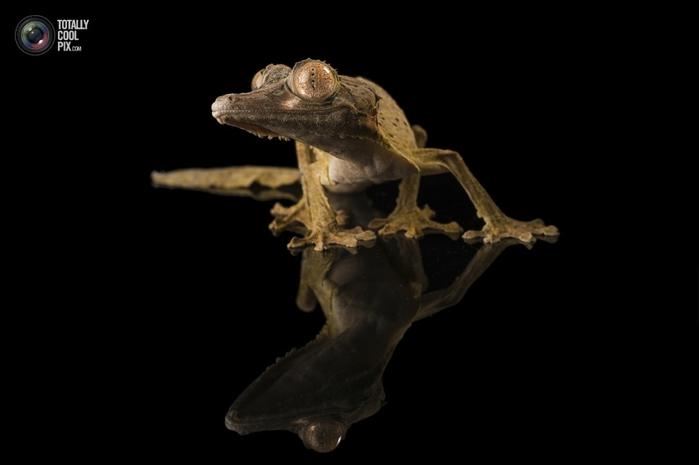 геккон хенкеля фото 3 (700x465, 63Kb)