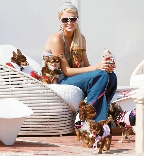 мода носить с собой маленьких собачек 1 (461x500, 112Kb)