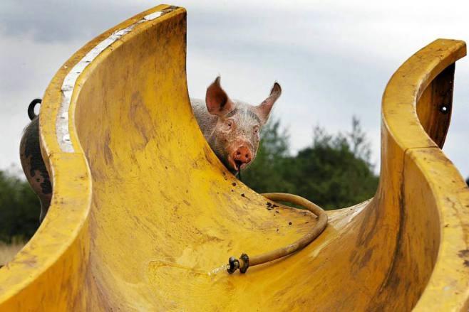 аквапарк для свиней в голландии 5 (658x439, 102Kb)