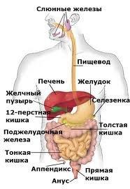 5239983_pishevaritelnaya_sistema (186x271, 13Kb)