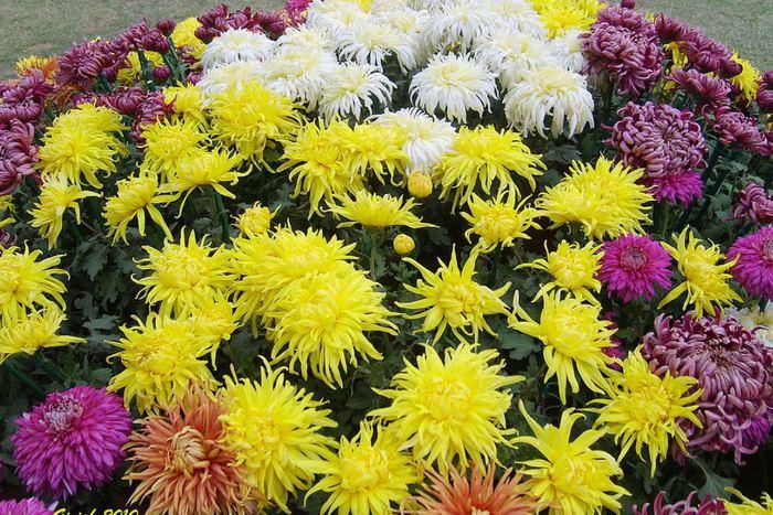 Когда сажают хризантемы в открытый грунт 88