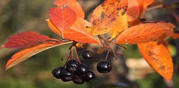 Варенье-из-черноплодной-рябины-610x300 (610x300, 73Kb)