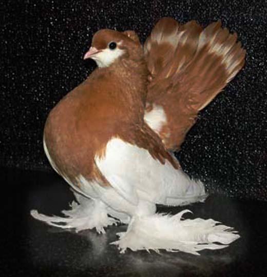 голубь (520x540, 151Kb)
