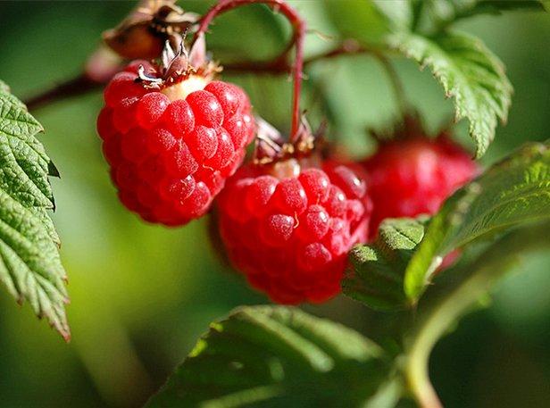 Raspberry_02 (616x457, 60Kb)