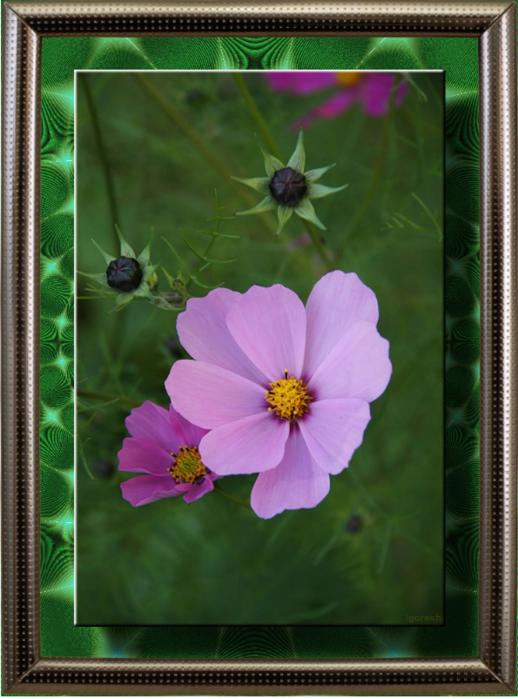 Цветы_из_сада_МГУ_Фото_от_igoresh (518x700, 597Kb)