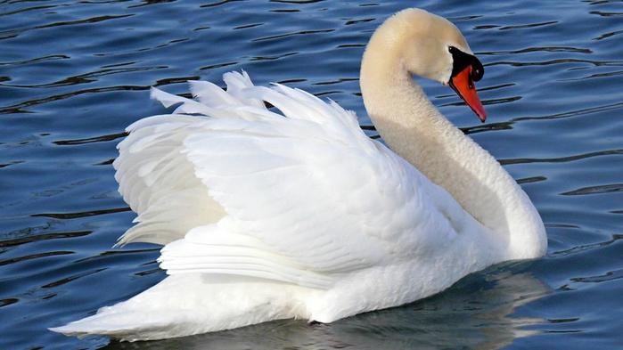 swan-wallpaper-1366x768 (700x393, 199Kb)