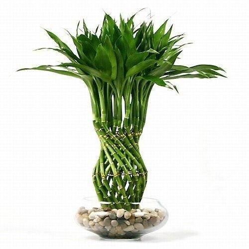 бамбук (500x500, 41Kb)